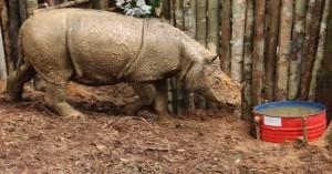 badak-sumatera-ditemukan-selamat-di-kalimantan