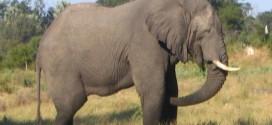 gajah hidup